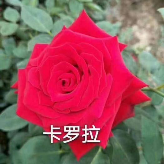 昆明呈貢區 玫瑰小苗