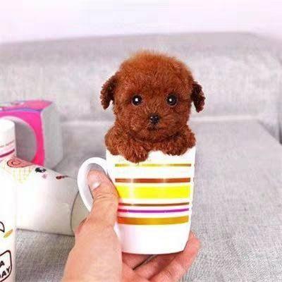 徐州新沂市泰迪犬 纯种泰迪幼犬