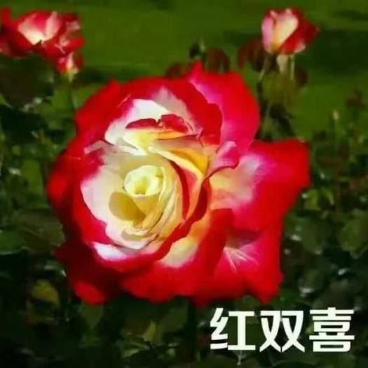 昆明呈贡区玫瑰苗 红双喜,香水玫瑰,味道特别香
