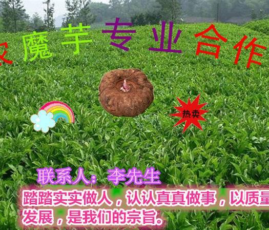 曲靖富源縣 魔芋種子產地直供質優價廉供技術包回收