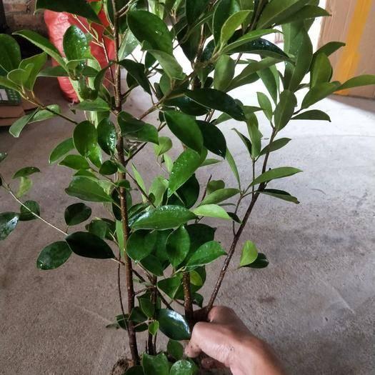 莆田 出售小葉榕 榕樹苗