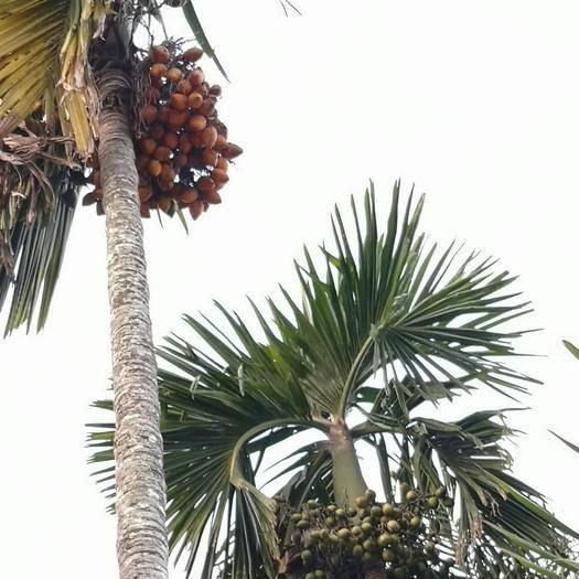 三亚天涯区槟榔种子 槟榔30年老树龄熟果育苗专用,下单即摘,正宗海南品种。