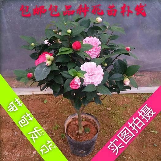 临沂平邑县 四季茶花苗带花苞发货浓香型庭院室内好养香妃 赤丹树形盆栽