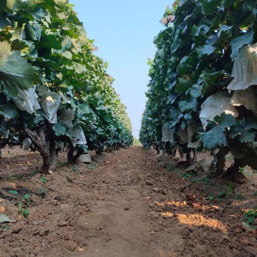 平度市绿玫瑰葡萄 大泽山绿色农业,绿玫瑰产地
