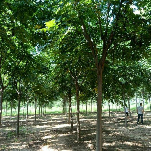 咸寧 基地供應4一20公分粗黃山欒樹北欒樹園林綠化行道樹庭院植物