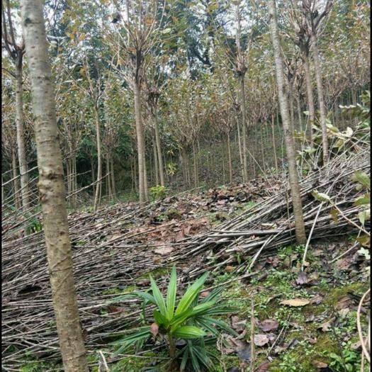 成都 晚櫻花4-10公分1.5米分枝+樹頭2.5米帶樹型土球發貨