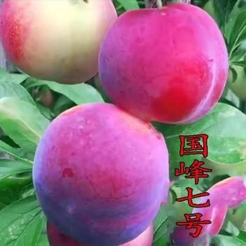 国峰7号李子苗 当年结果晚熟品种抗寒高产基地直销现挖现发