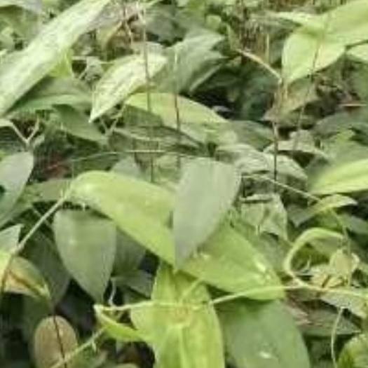 南宁良庆区 土茯苓苗  粉质  白肉