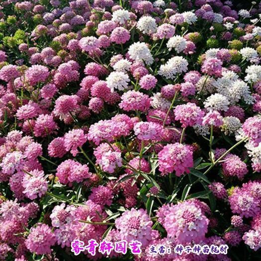 郑州二七区屈曲花种子 蜂室花种子曲曲花种子包邮