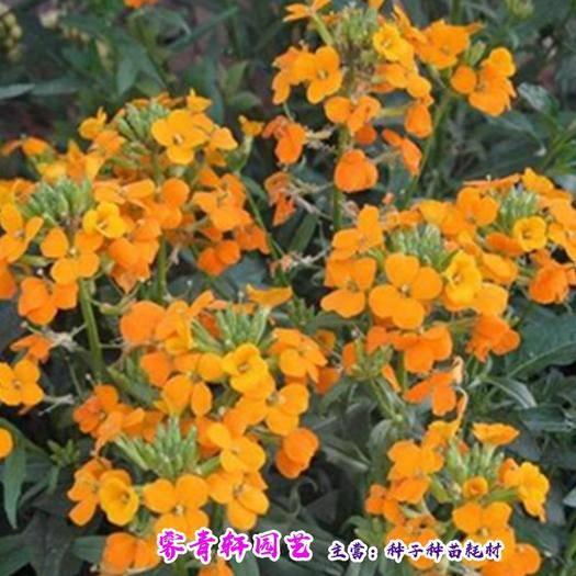 郑州 七里黄种子新种子包邮