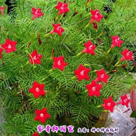 郑州羽叶莺萝种子 羽叶茑萝圆叶茑萝红五星种子包邮