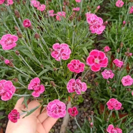 赤峰喀喇沁旗 盤飾花草石竹三色堇