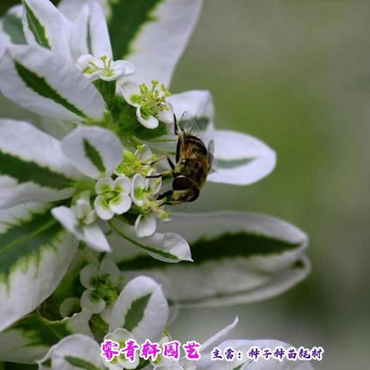 郑州二七区 银边翠种子象牙白种子高山积雪种子包邮