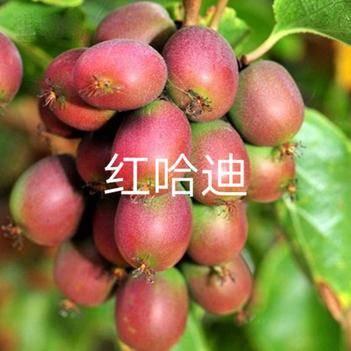 软枣猕猴桃苗 当年结果正宗红心软枣猕猴桃树苗带果盆栽徐香桃树南方北方种植苗