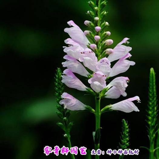 郑州 假龙头种子随意草伪龙头种子虎尾花种子包邮
