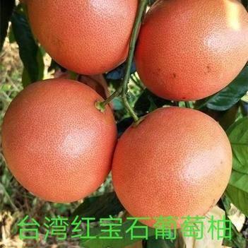 正宗台湾甜葡萄柚苗红宝石西柚树苗红心西柚苗当年挂果树苗盆栽