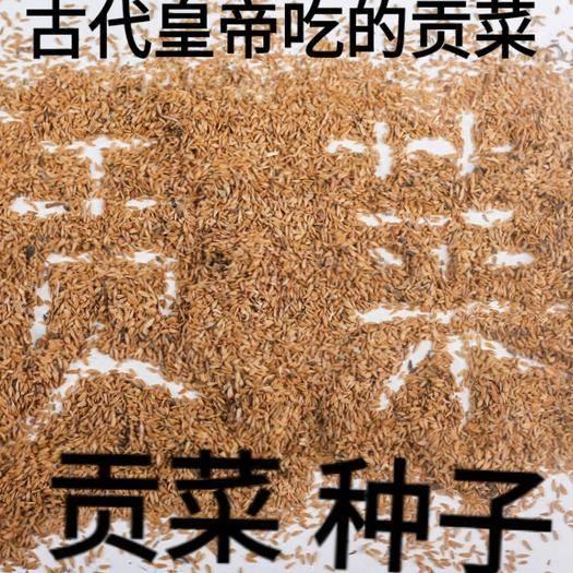 唐山迁安市 贡菜种子古代皇帝吃的贡菜嘎嘎脆贡菜种子原装十克包邮