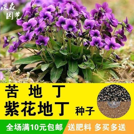 宿迁沭阳县 紫花地丁种子 中材种子 纯新采地丁籽紫堇地丁花卉种子