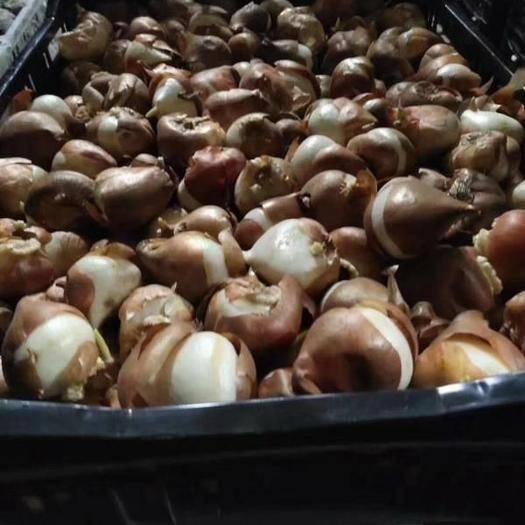 郑州二七区郁金香种子 进口郁金香种球国产郁金香种球低温球常温球包邮