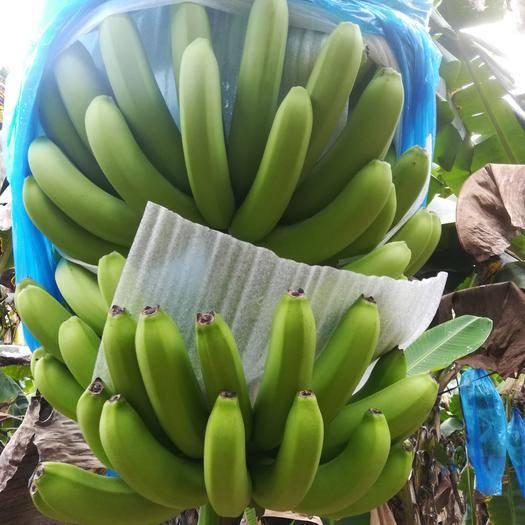 崇左龙州县 广西崇左龙州香蕉基地