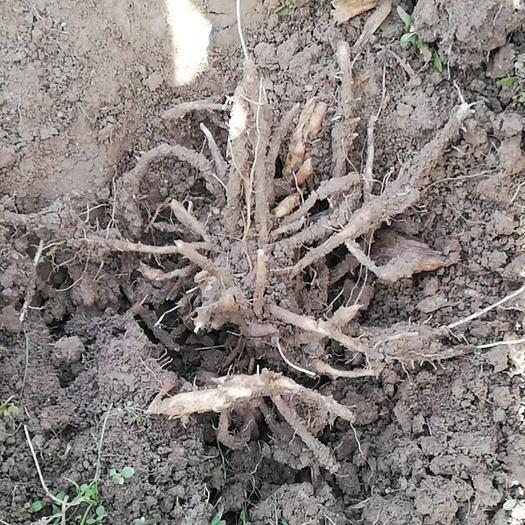 汉中佛坪县阳荷种苗 阳荷根大面积出售,芽尖多易成活,地里现挖现卖
