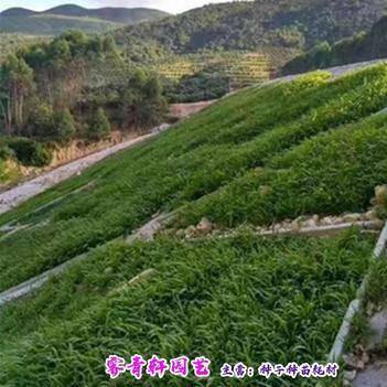 优质护坡草种子防止水土流失草坪灌木护坡种子包邮