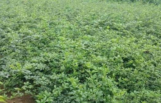 宿遷沭陽縣 常年批發供應迎春花價格優惠 植株健壯生長旺盛