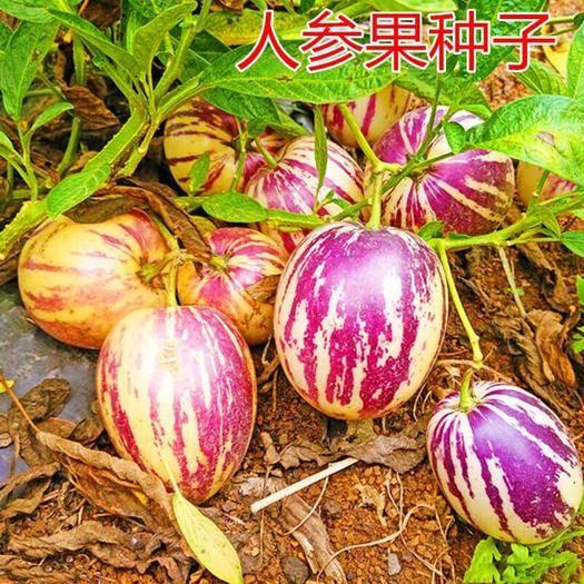 迁安市人心果种子 人参果种子稀有珍贵水果人参果种子盆栽人参果种子人参果种子原装
