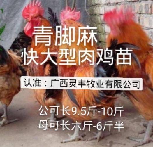 南寧西鄉塘區 【高銷量熱賣】快大青腳麻,鐵腳麻雞苗《有經營許可證》靈豐公司