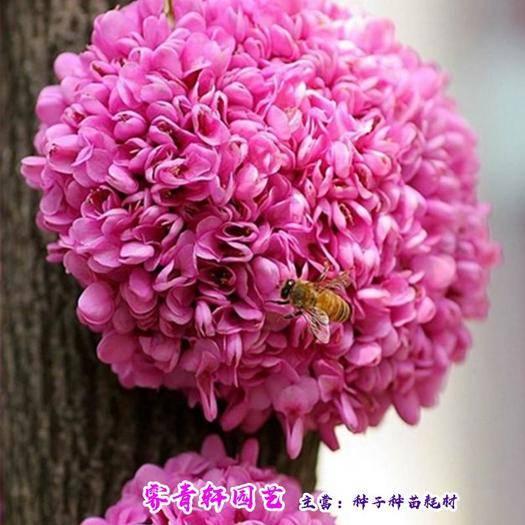 郑州二七区 紫荆花种子紫荆种子红花羊蹄甲种子包邮