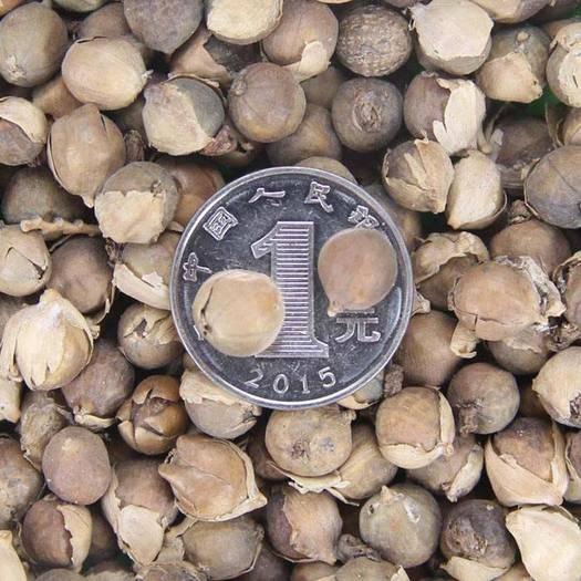 郑州二七区 再力花种子 水竹竽种子 水莲蕉种子塔丽亚种子包邮