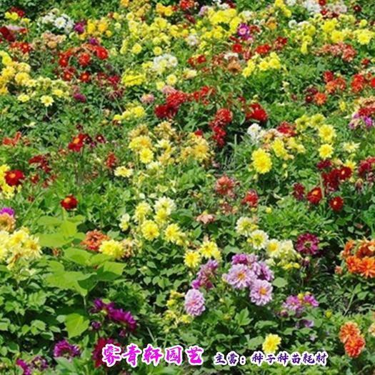 郑州二七区 小丽花种子大丽花种子包邮大量出售