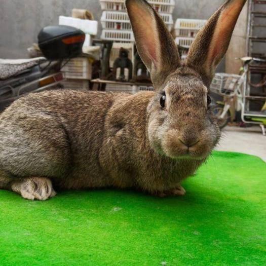 枣庄滕州市比利时兔 比利时种兔杂交兔