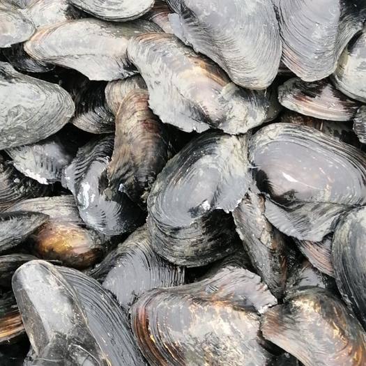 佛山 大量供应水库河蚌,规格2斤起