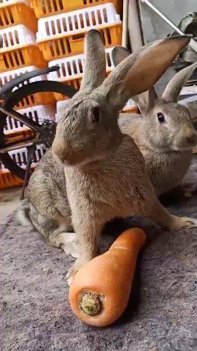 枣庄滕州市比利时兔 比利时杂交种兔