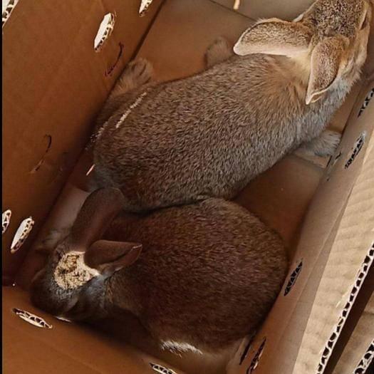 枣庄滕州市比利时兔 比利时杂交兔 重量一斤一二两左右