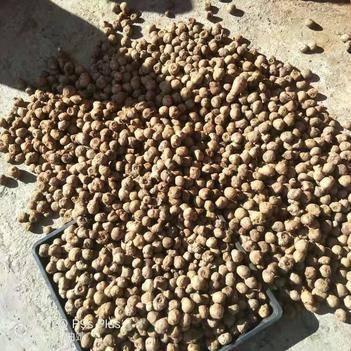 5到20克左右花魔芋种子