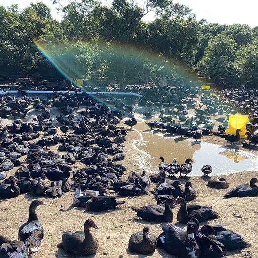 漳州漳浦縣 自家養殖白番鴨蛋黑受精蛋可孵化率超高洋鴨旱鴨子