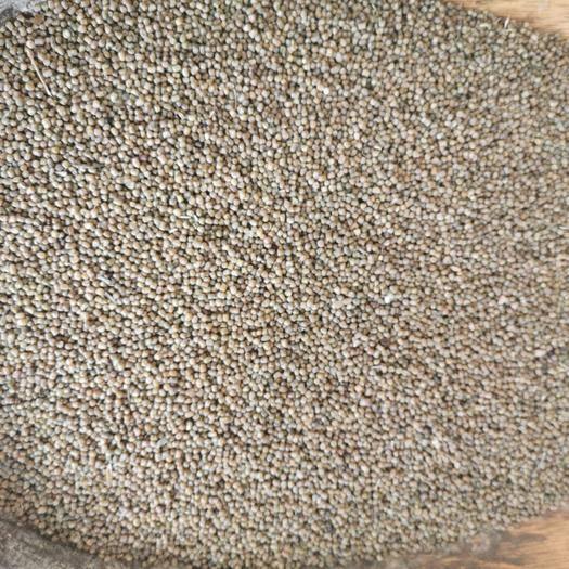巫山多花木兰种子 多发木兰种子大量批发