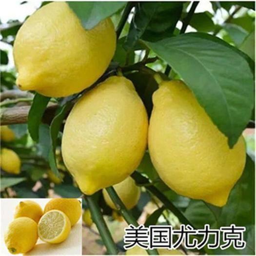 平邑县 美国尤力克柠檬苗盆栽地栽南北方种植现挖现发基地直销当年结果