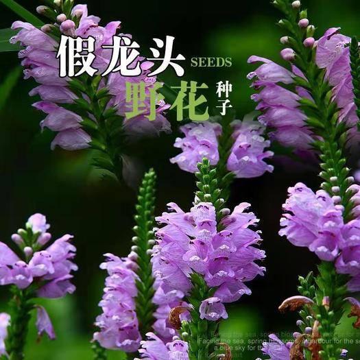 沭阳县假龙头种子 假龙头花种花籽多年生耐寒耐热室内阳台盆栽宿根假龙头花卉种子