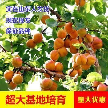 凯特 杏树苗 南北方种植 包成活包邮基地发货