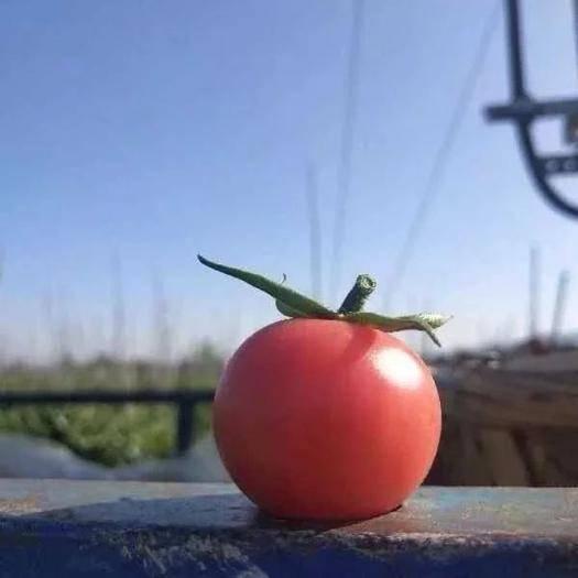 東山縣春桃西紅柿 漳州春桃小番茄上市啦,純露天種植,當天采摘當天發貨