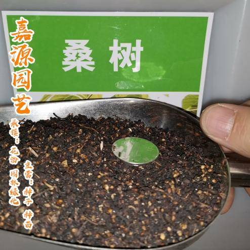 成都 桑树种子大叶桑树种子新种子包邮