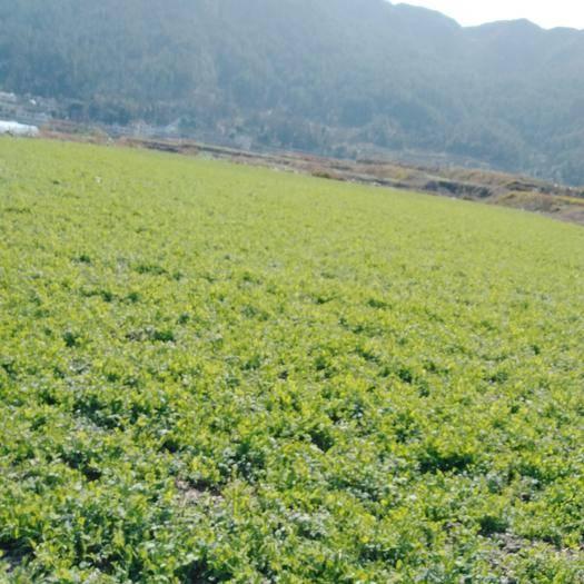 龙里县豌豆苗 高原路天种植,鲜嫩口感好,无公害绿色豌豆尖