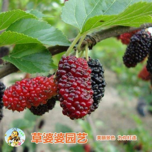 沭阳县 桑树种子草桑种子大叶桑树种子新种了包邮