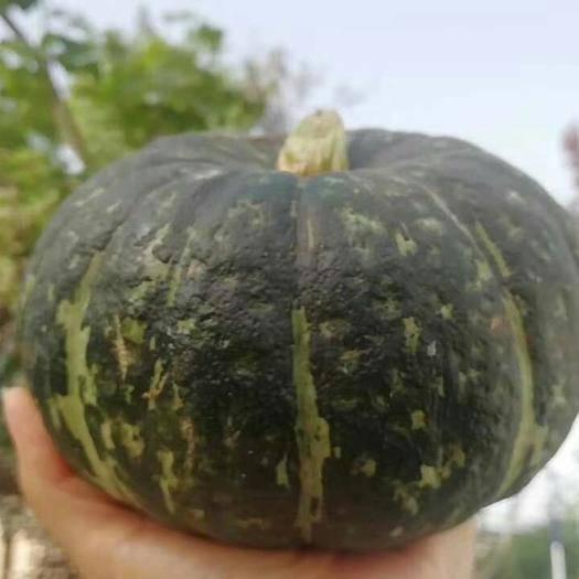 安庆岳西县 新西兰品种 板栗南瓜