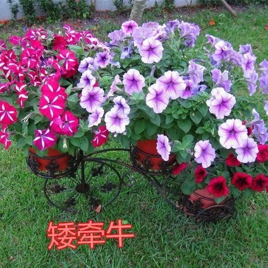 宿迁沭阳县 牵牛花种子爬藤植物矮喇叭花阳台庭院四季种易活爬山虎羽叶茑萝种