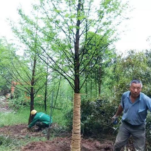 宿遷沭陽縣 水杉樹價格優惠,常年批發供應,基地大量現貨銷售