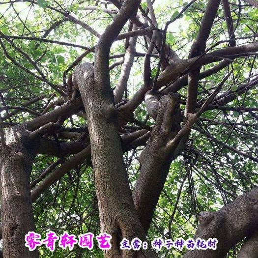 郑州 桑树种子草桑种子大叶蚕桑种子新种子包邮